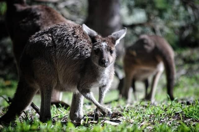 Comment les kangourous ont-ils rejoint l'Australie ?