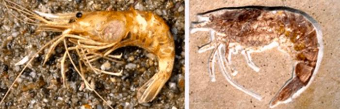 Une crevette moderne et une crevette apparemment vieille de 150 millions d'années....